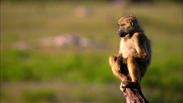 Male baboon sitting on top of tree stump / scratching its head