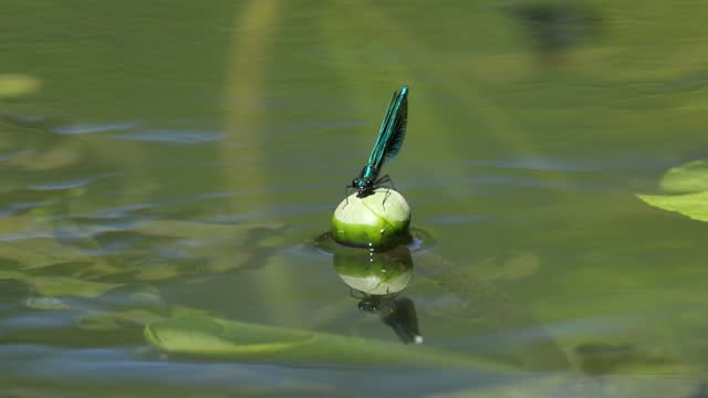 a male banded demoiselle damselfly, calopteryx splendens, is perching on a yellow water-lily, nuphar lutea, growing in a fast flowing river and then it fly's. - close up stock videos & royalty-free footage