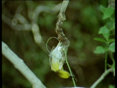 "vidéos et rushes de male baya bird tries but fails to wind blade of grass around branch in order to build nest. india. - ""bbc natural history"""