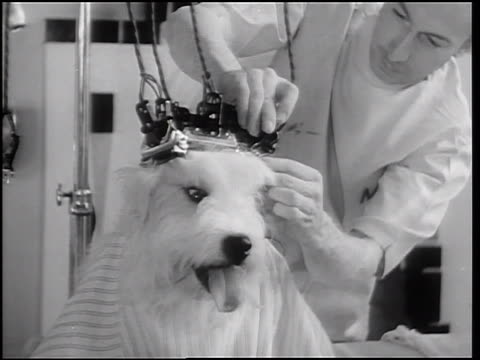 B/W 1933 male beautician attaching electric curling irons to head of sheep dog in pet beauty salon