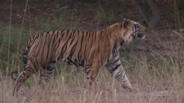 male bengal tiger (panthera tigris) walks on grassland, bandhavgarh, india - bandhavgarh national park stock videos and b-roll footage