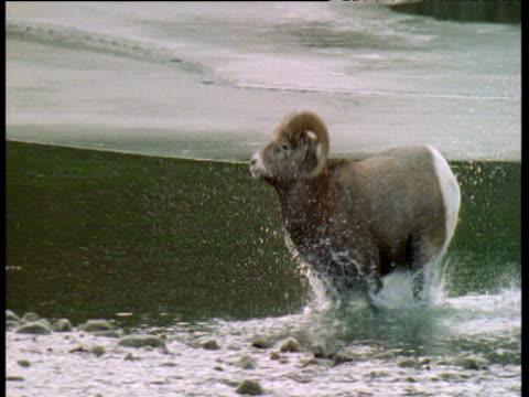 Male bighorn sheep jumps and splashes through stream, Jasper National Park, Canada
