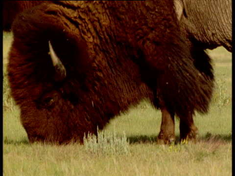 male bison paws at ground, rubs head and rolls in dust then stands up, south dakota - american bison stock videos & royalty-free footage