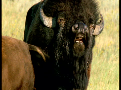 male bison sniffs at females rear and flehmens, south dakota - human copulation stock videos and b-roll footage