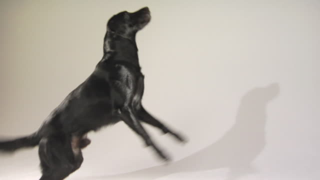 SM MS PAN WS Male Black Labrador Retriever jumping and catching ball while his shadow reflects on wall / Boston, Massachusetts, USA