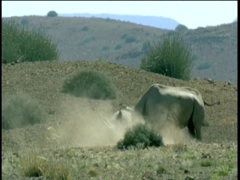 male black rhino falls off of female during mating, namibia - human copulation stock videos and b-roll footage
