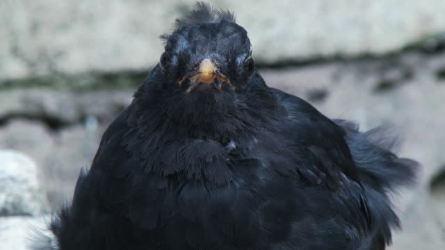 male blackbird also knonw as the eurasian blackbird turning it's head to look at the camera - johnfscott stock videos & royalty-free footage