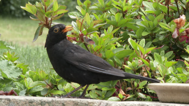 Male blackbird collecting food from a garden wall
