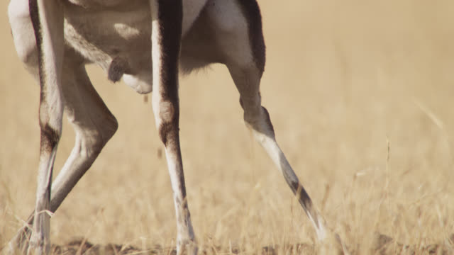 male blackbuck antelope (antilope cervicapra) defecates onto midden heap on grassland, velavadar, india - antilope stock-videos und b-roll-filmmaterial