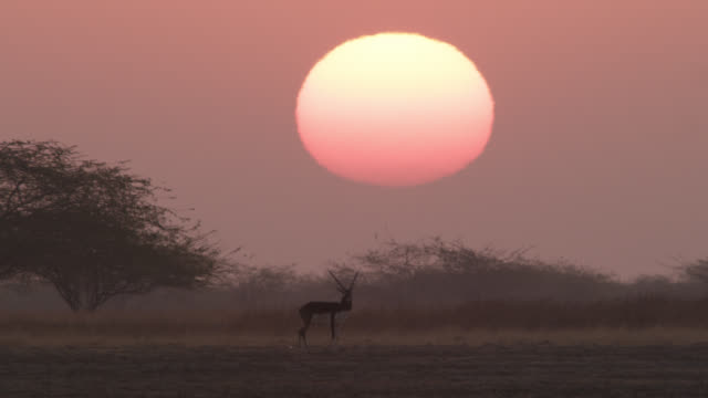 Male blackbuck antelope (Antilope cervicapra) on grassland at sunset, Velavadar, India