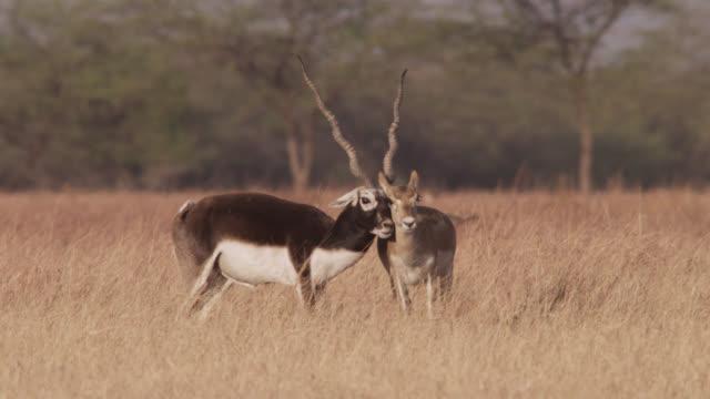 Male blackbuck antelope (Antilope cervicapra) pursues female on grassland, Velavadar, India