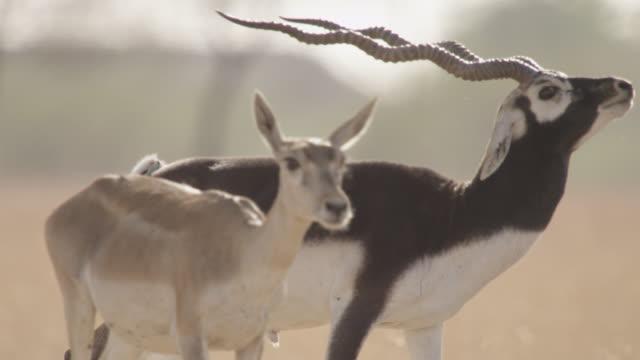 Male blackbuck antelope (Antilope cervicapra) pursues females on grassland, Velavadar, India
