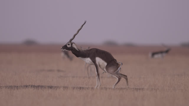 male blackbuck antelope (antilope cervicapra) urinates onto midden heap, velavadar, india - urology stock videos and b-roll footage