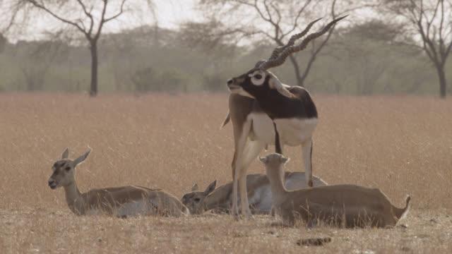 Male blackbuck antelope (Antilope cervicapra) with females on grassland, Velavadar, India