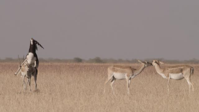 Male blackbuck antelopes (Antilope cervicapra) mates with female, Velavadar, India