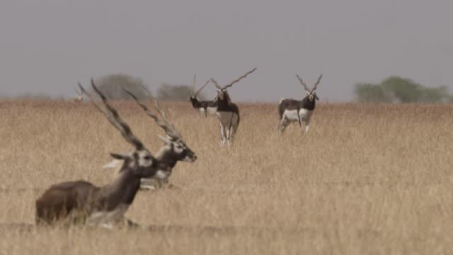 Male blackbuck antelopes (Antilope cervicapra) on grassland, Velavadar, India
