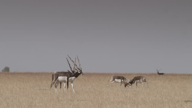Male blackbuck antelopes (Antilope cervicapra) rut and parallel walk, Velavadar, India