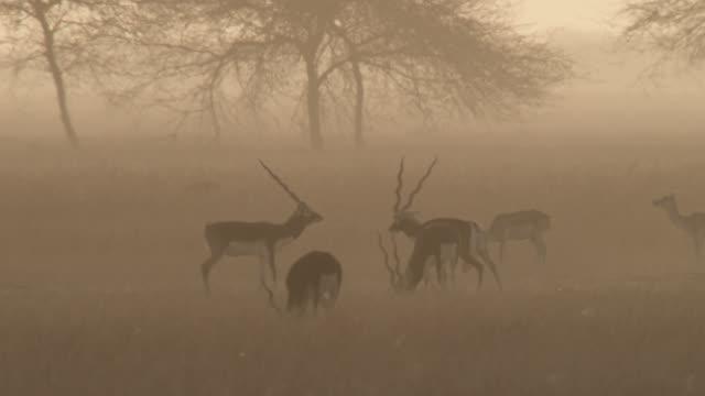 Male blackbuck antelopes (Antilope cervicapra) rut on grassland at dusk, Velavadar, India