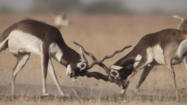 male blackbuck antelopes (antilope cervicapra) rut on grassland, velavadar, india - comportamento animale video stock e b–roll