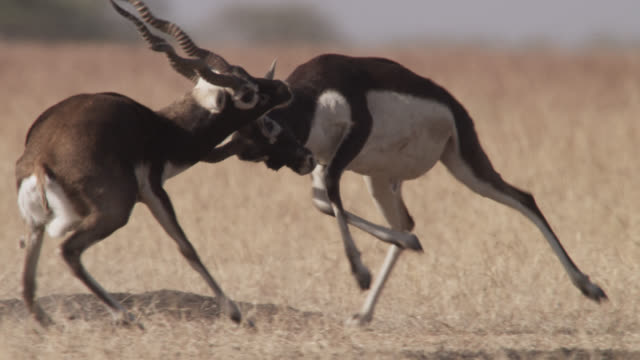 Male blackbuck antelopes (Antilope cervicapra) rut on grassland, Velavadar, India