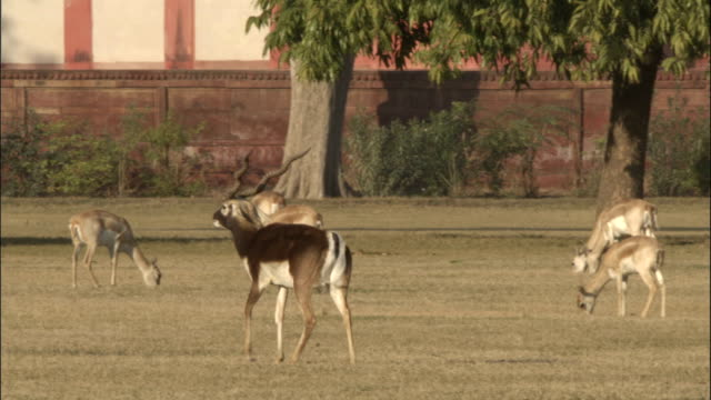 male blackbuck walks through parkland surrounding the tomb of akbar the great available in hd. - 枝角点の映像素材/bロール