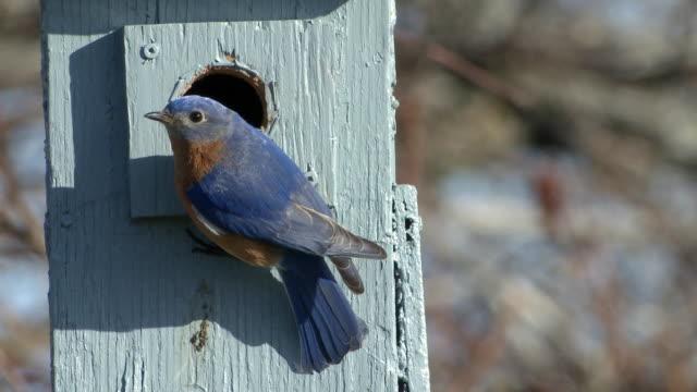 MS Male bluebird on nest box / Tweed, Ontario, Canada