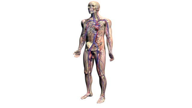 A male body rotates a quarter turn to the right and then a quarter turn to the left.  As it does so the body becomes transparent revealing the skeletal and cardiovascular systems.