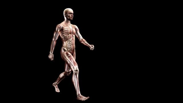vidéos et rushes de male body walking - illustration biomédicale