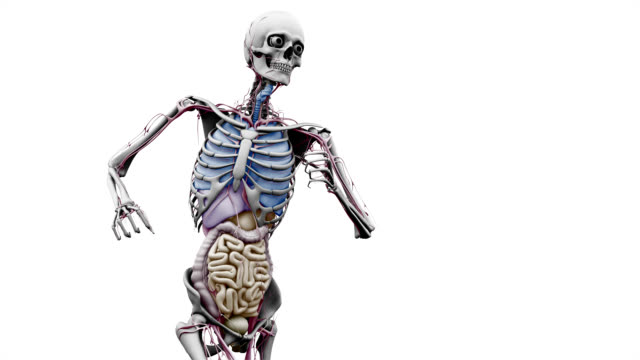 """male body with organs, running"" - figura maschile video stock e b–roll"