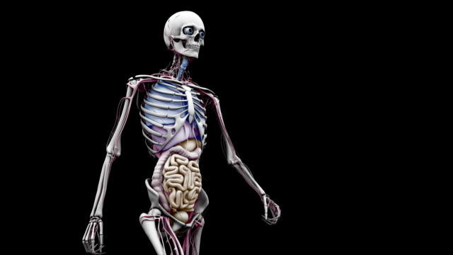 """""""male body with organs, walking"""" - menschlicher darm stock-videos und b-roll-filmmaterial"""