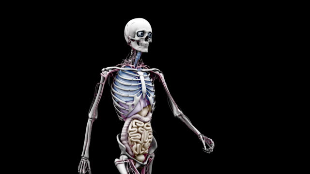 """male body with organs, walking"" - animazione biomedica video stock e b–roll"