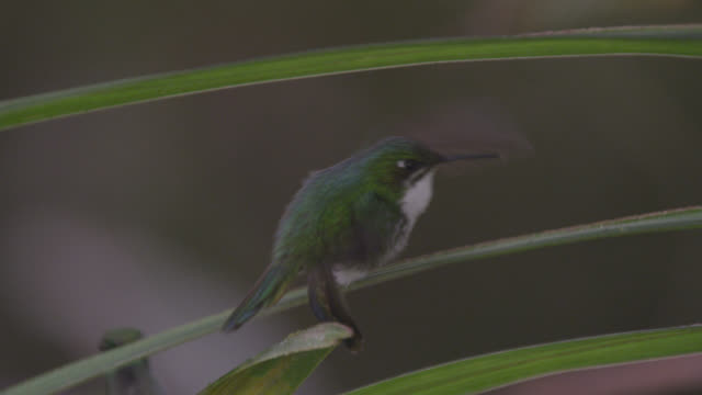 male booted racket tail hummingbird (ocreatus underwoodii) chases female, ecuador - racket stock videos and b-roll footage