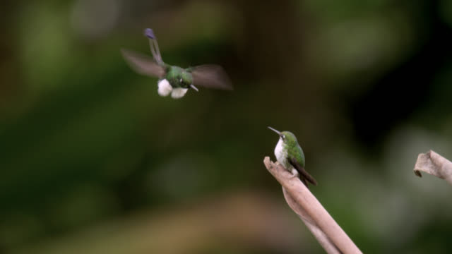 stockvideo's en b-roll-footage met male booted racket tail hummingbird (ocreatus underwoodii) courts female, ecuador - staartjes