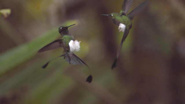 stockvideo's en b-roll-footage met male booted racket tail hummingbirds (ocreatus underwoodii) fight in forest, ecuador - staartjes