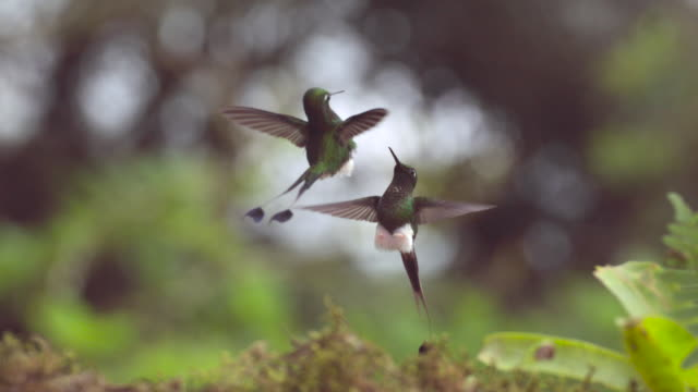 male booted racket tail hummingbirds (ocreatus underwoodii) fight in forest, ecuador - fight stock videos & royalty-free footage