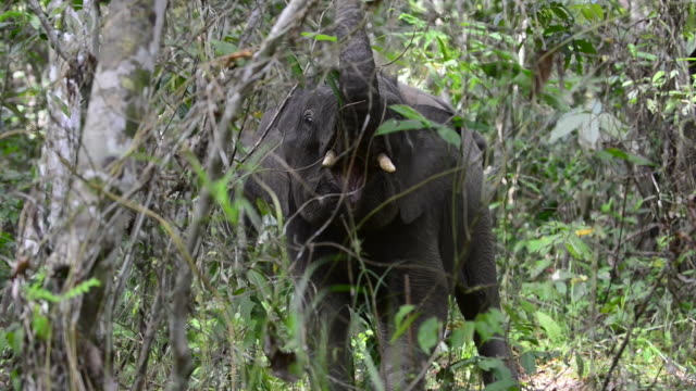 male bornean pygmy elephant displaying by lifting trunk in rainforest - elephant stock videos & royalty-free footage