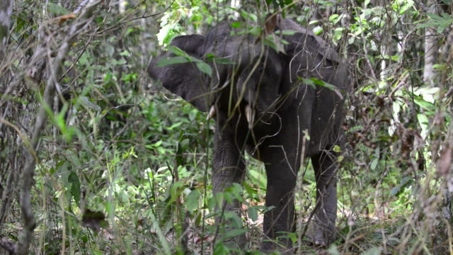male bornean pygmy elephant displaying in jungle - elephant stock videos & royalty-free footage