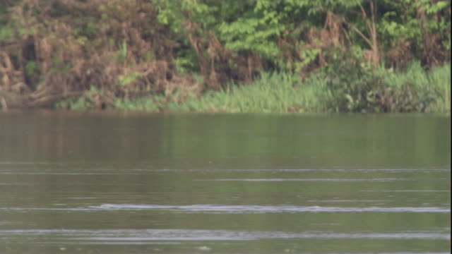 A male Boto dolphin surfaces in the Amazon River as he tries to impress a female. Available in HD.