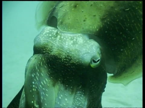 cu male broadclub cuttlefish changing colour dramatically, mabul, borneo, malaysia - cuttlefish stock videos and b-roll footage