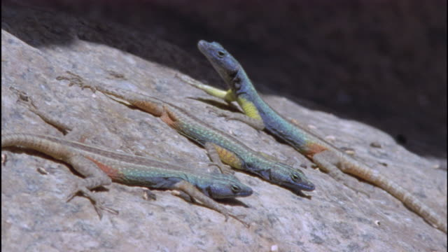 male broadley's flat lizards basking, south africa available in hd - lizard stock videos and b-roll footage