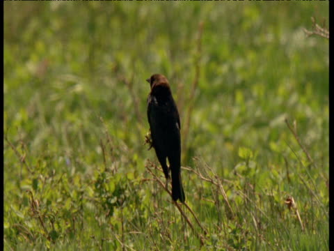 "vidéos et rushes de male brown headed cowbird looks around from perch, montana - ""bbc natural history"""