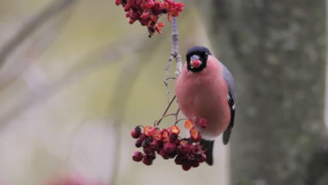 Male Bullfinch (Pyrrhula pyrrhula) feeding on ash berries, Finland