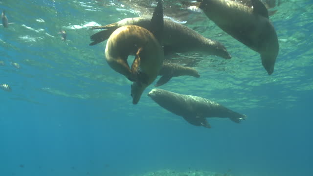 Male California Sea Lion (Zalophus californianus) and several females swimming near surface with school of Five-banded Damselfish (Abudefduf vaigiensis), La Paz, Sea of Cortez, Mexico