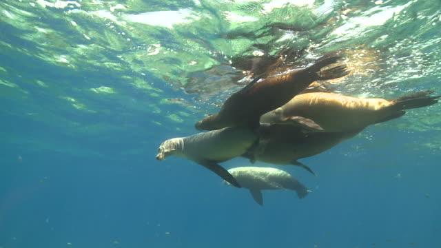 Male California Sea Lion (Zalophus californianus) and several females swimming near surface together, La Paz, Sea of Cortez, Mexico