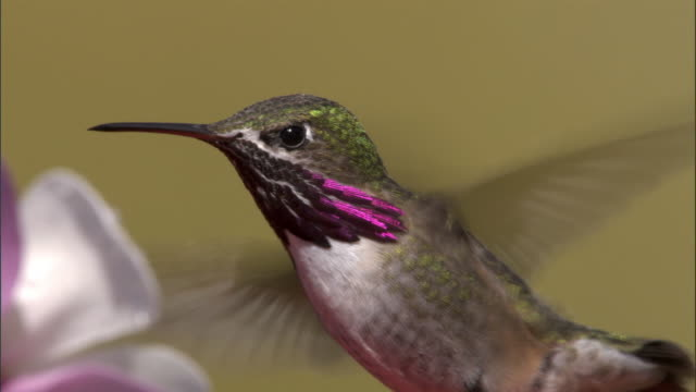 vídeos de stock, filmes e b-roll de male calliope hummingbird (stellula calliope) feeds on flower, yellowstone, usa - hummingbird