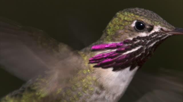 Male Calliope hummingbird (Stellula calliope) feeds on flower, Yellowstone, USA