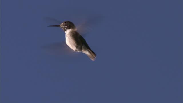 male calliope hummingbird (stellula calliope) hovers, yellowstone, usa - hummingbird stock videos and b-roll footage