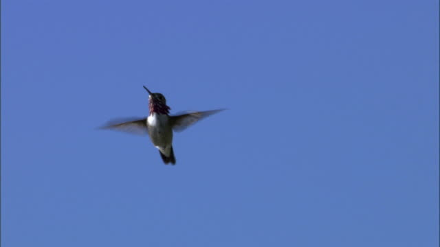 Male Calliope hummingbird (Stellula calliope) hovers, Yellowstone, USA
