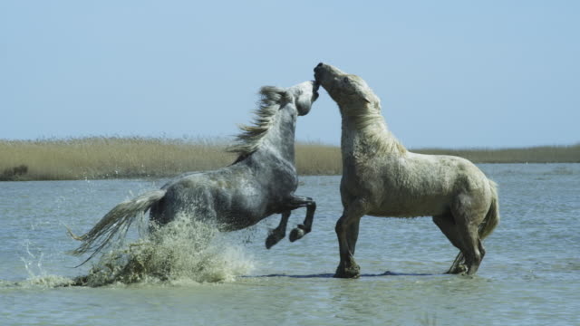 2 male Camargue horses fight in shallow sea