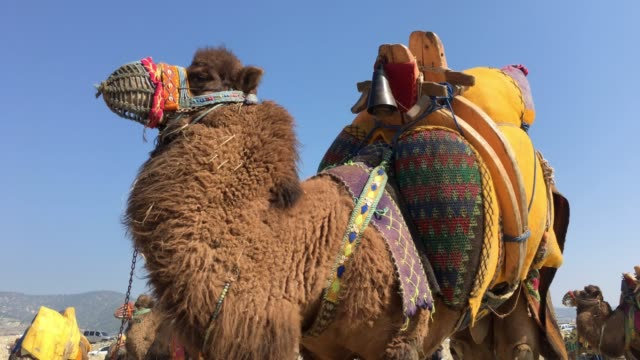male camel for wrestling, turkey - camel stock videos & royalty-free footage
